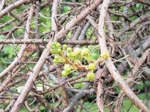 salz Salz-Baum Salz von Indien, Abschluss herauf schöne Blume kanonenkugel Lizenzfreie Stockbilder