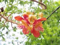 salz Salz-Baum Salz von Indien, Abschluss herauf schöne Blume kanonenkugel Stockfotografie