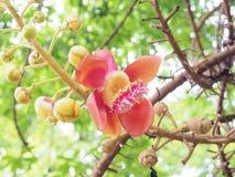 salz Salz-Baum Salz von Indien, Abschluss herauf schöne Blume kanonenkugel Lizenzfreies Stockbild