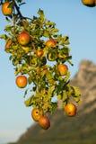 Salzburg, Heuberg, un manzano en el sol con las manzanas anaranjadas rojas fotografía de archivo