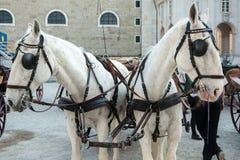 Salzburg taxi vid hästar, kallade Fiaker, i den gamla staden i sommar arkivfoton