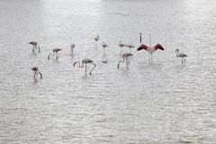 Salzsumpf mit Flamingos birdwatching Alicante spanien lizenzfreies stockfoto