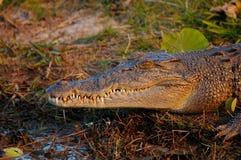 Salzwasser-Krokodil Lizenzfreie Stockfotografie