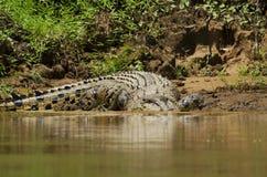 Salzwasser-Krokodil lizenzfreies stockfoto