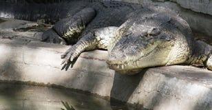 Salzwasser Krokodil stockfotos
