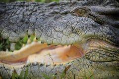 Salzwasser-Krokodil I Lizenzfreie Stockfotos