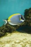 Salzwasserfische - Acanthurus leucosternon Stockfotos
