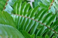 Samambaia bonita, grande, verde da folha na luz do dia imagens de stock
