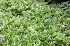 A samambaia cresce na terra no jardim imagem de stock