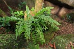 Samambaia da floresta úmida Imagem de Stock Royalty Free