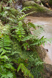 Samambaia da selva Imagens de Stock