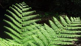 Samambaia de árvore Foto de Stock Royalty Free