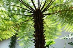 Samambaia de árvore do spinulosa do Cyathea imagem de stock royalty free