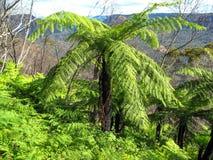 Samambaia de árvore verde-clara antiga que cresce na floresta úmida Fotos de Stock Royalty Free