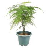 Samambaia de aspargo Imagem de Stock