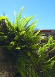 Samambaia de maidenhair americana que cresce de uma pintura mural imagem de stock