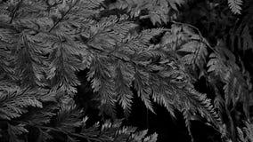 Samambaia do Davallia no fundo da escala cinzenta Fotografia de Stock Royalty Free