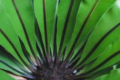 A samambaia do ninho de Bird's era abundante durante o Triassic imagens de stock