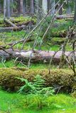 Samambaia e árvores caídas em uma floresta da floresta primária Foto de Stock Royalty Free