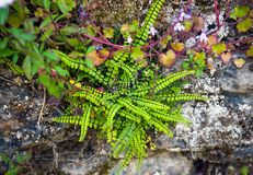 A samambaia e a planta de jardim da rocha, crescem selvagens em uma parede fotos de stock royalty free