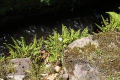 A samambaia e a planta de jardim da rocha, crescem selvagens em uma parede acima do córrego fotografia de stock royalty free