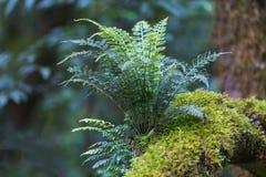 Samambaia em uma árvore Foto de Stock