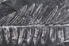 Samambaia fóssil fotos de stock