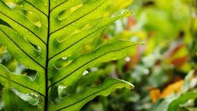 Samambaia havaiana Foto de Stock Royalty Free