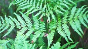 Samambaia luxúria velha grande que cresce na selva selvagem luxúria coberto de vegetação filme