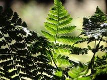 Samambaia na floresta Fotos de Stock Royalty Free