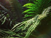 Samambaia na floresta Imagem de Stock