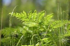 Samambaia na floresta Imagens de Stock