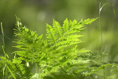 Samambaia na floresta Foto de Stock