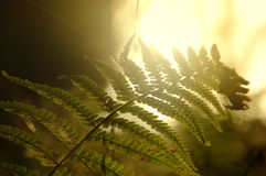 Samambaia na floresta Foto de Stock Royalty Free