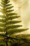 Samambaia na floresta Imagens de Stock Royalty Free