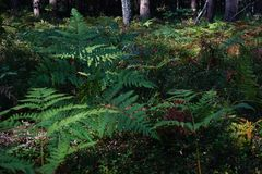 Samambaia na floresta perto de Shatsk imagem de stock royalty free