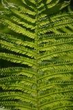 Samambaia na luz solar Fotos de Stock Royalty Free