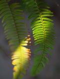 Samambaia na luz solar Fotografia de Stock Royalty Free