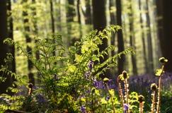 Samambaia na luz solar da floresta da mola Imagens de Stock