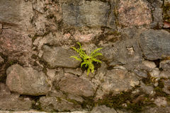 Samambaia na pedra Fotos de Stock