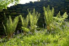 Samambaia que cresce pela parede drystone perto de Rydalwater imagens de stock