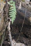 Samambaia que pendura da árvore caída foto de stock royalty free
