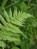 Samambaia selvagem verde no campo Foto de Stock