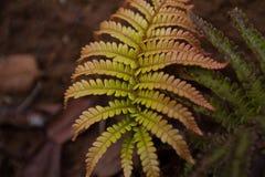 Samambaia tropical na selva Fotografia de Stock