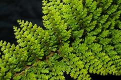 Samambaia verde Foto de Stock