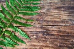 Samambaia verde Imagem de Stock