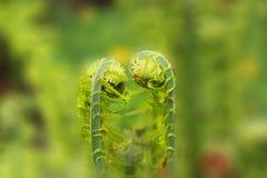 Samambaia verde Imagens de Stock Royalty Free