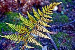 Samambaia verde-amarela na floresta do outono imagem de stock
