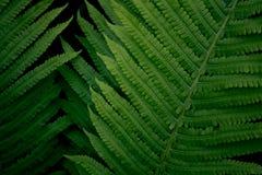 Samambaia verde-clara nova fresca, textura do fundo natural Imagem de Stock Royalty Free