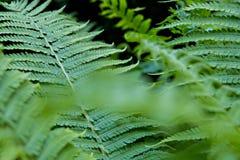 A samambaia verde-clara sae do grande forro fotografia de stock royalty free